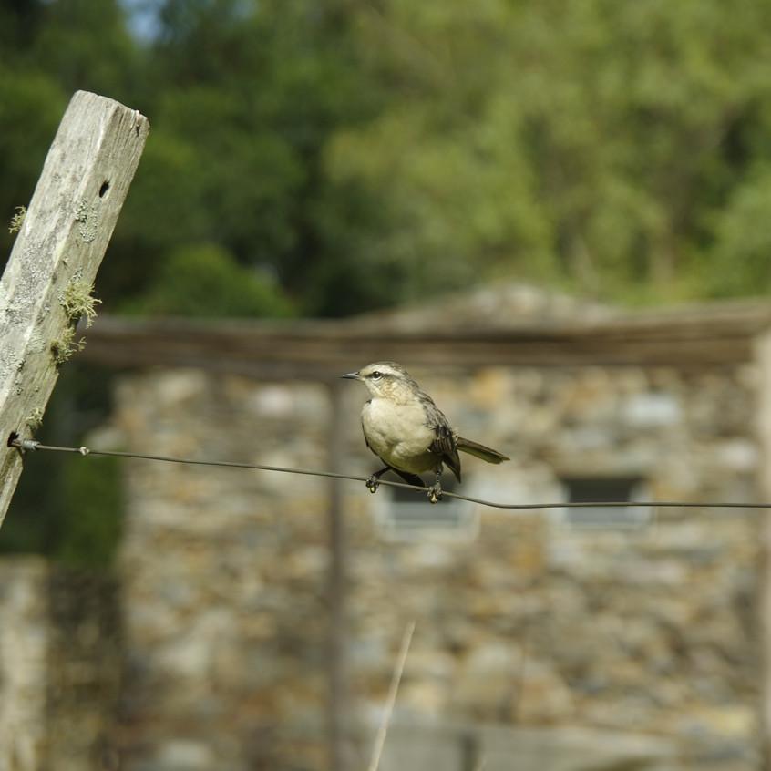_IMG9221 Chalk-browed Mockingbird