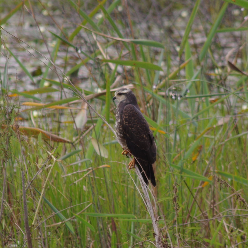 IMGP0851 Swainsons Hawk