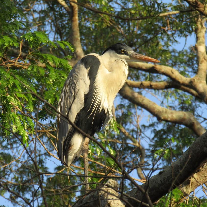 IMG_4181 Cocoi Heron