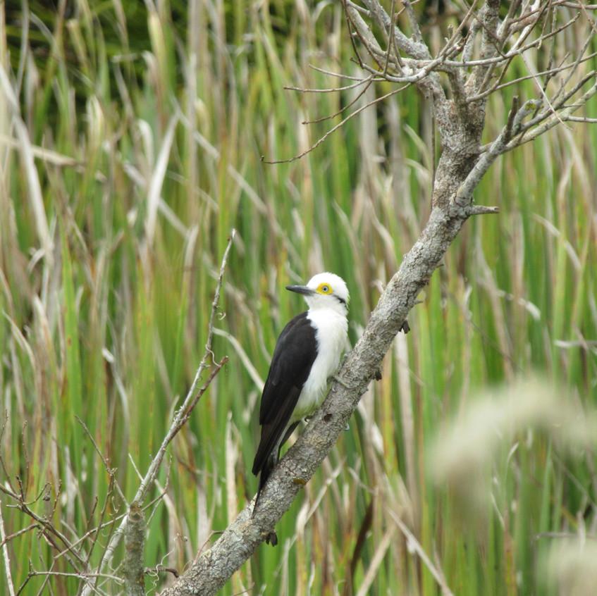 IMG_3858 White Woodpecker