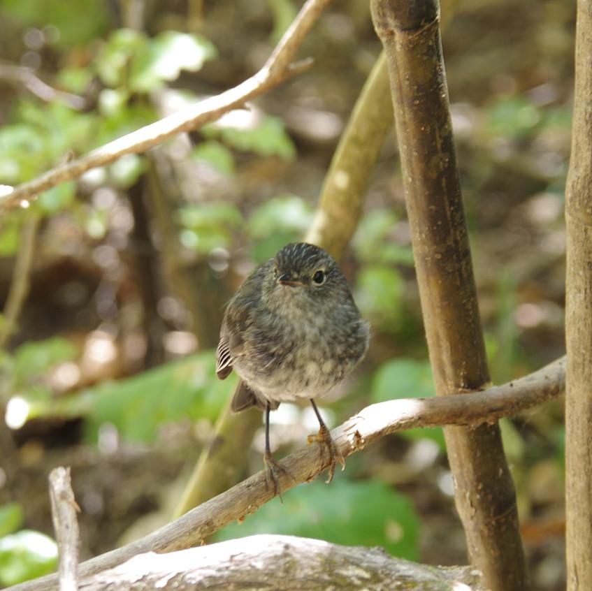 IMGP7922 New Zealand Robin (Toutouwai) T