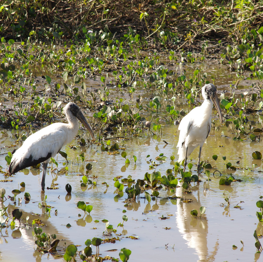 IMGP1778 Wood Storks