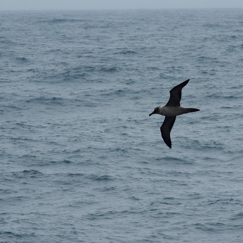 _IMG0338 Light-mantled sooty albatross