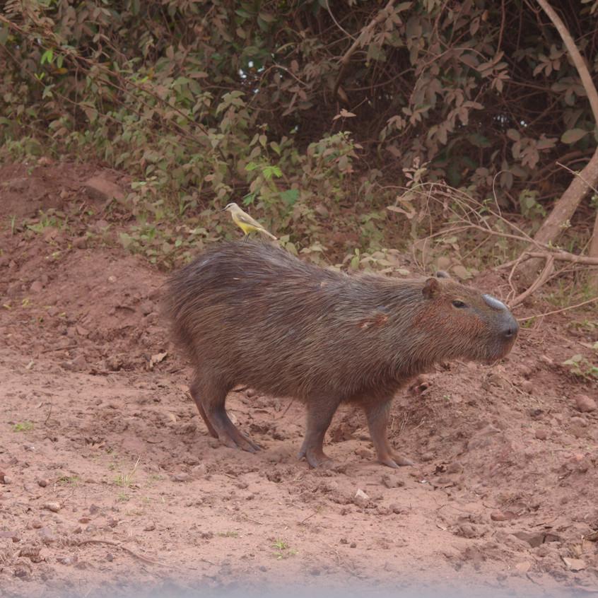 IMGP0963 Capybara and Cattle Tyrant