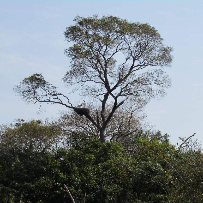 IMG_3937 Jabiru nesting