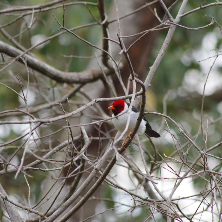 IMGP0517 Yellow-billed Cardinal