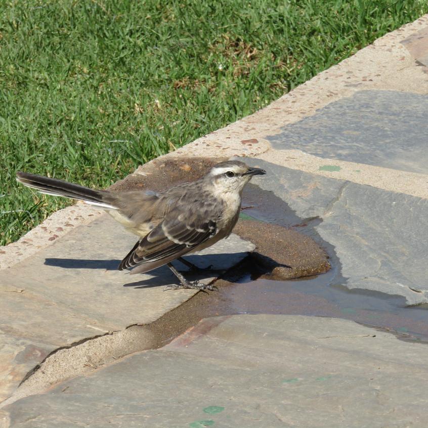IMG_2488 Chalk-browed Mockingbird