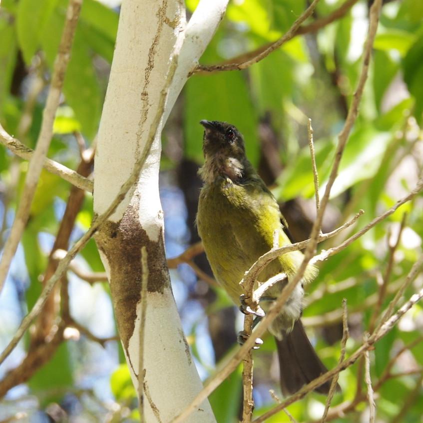 IMGP7934 Bellbird (Korimako) Tawharanui.