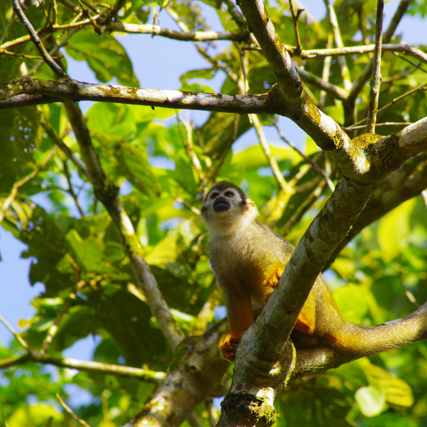 IMGP3729 Squirrel Monkey