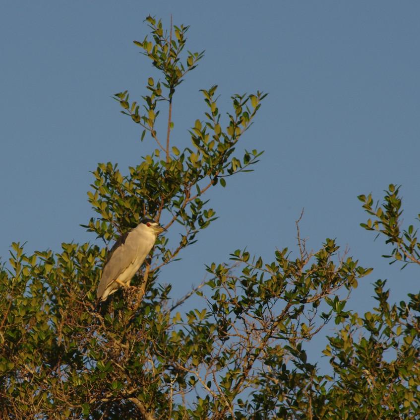 IMGP1312 Black-crowned Night Heron