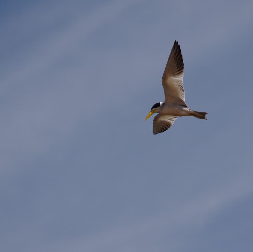 IMGP1874 Large-billed Tern