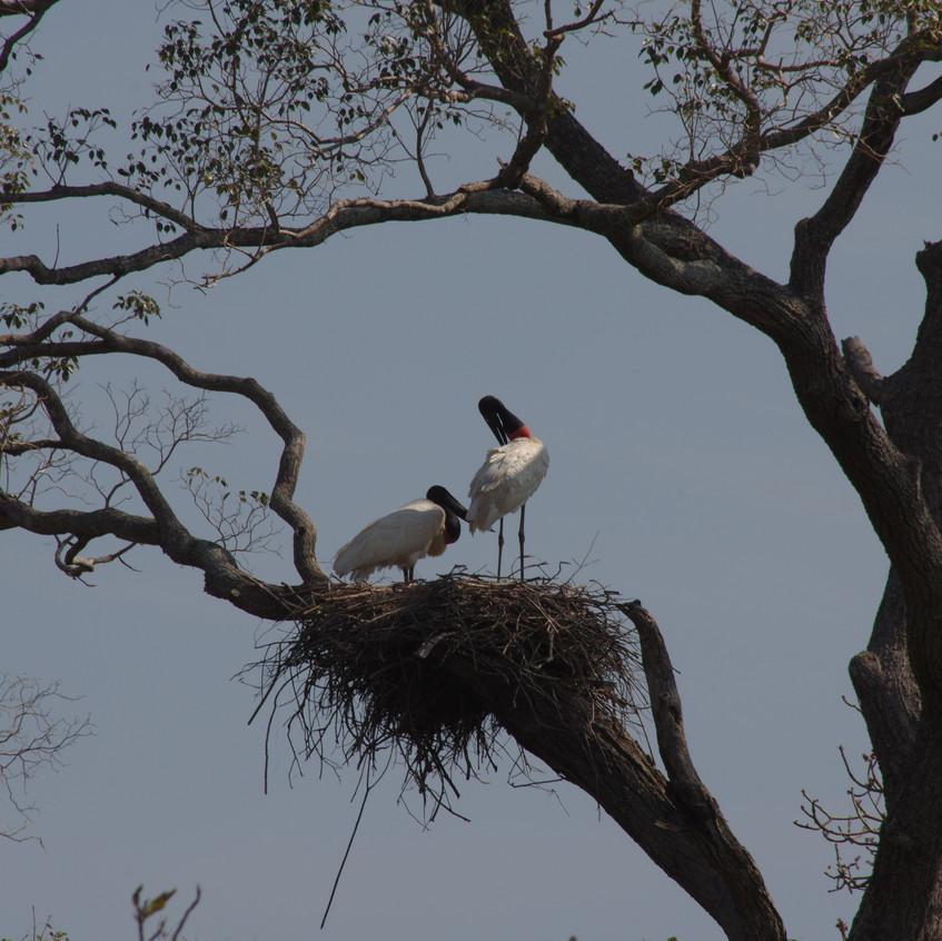 IMGP0674 Jabiru nesting