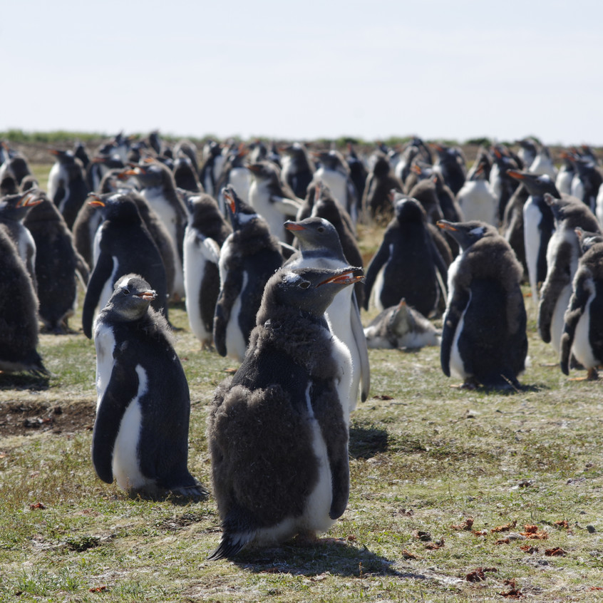 _IMG6118 Gentoo Penguins