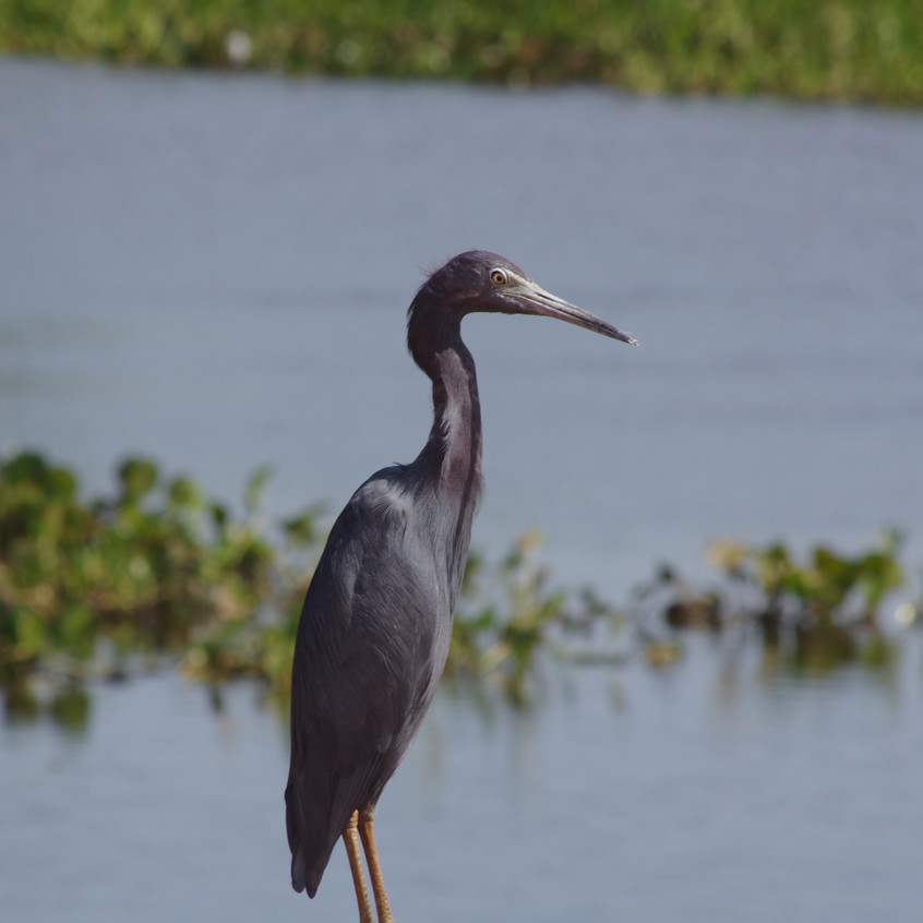 IMGP1855 Blue Heron