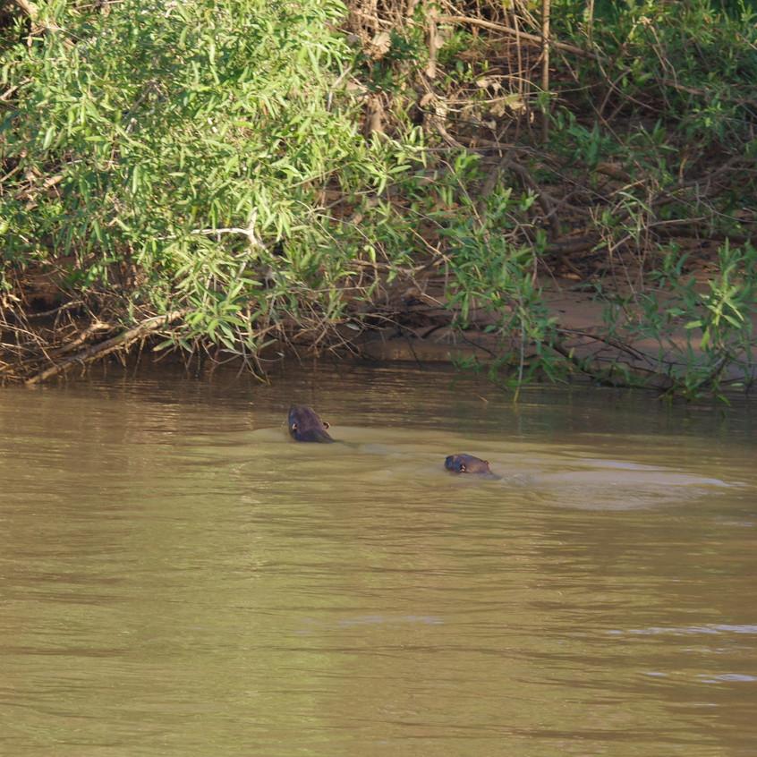 IMGP1371 Giant River Otter