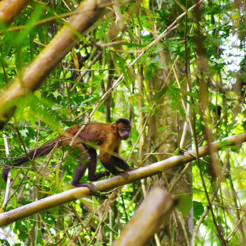 IMGP3761 Tufted Capuchin Monkey