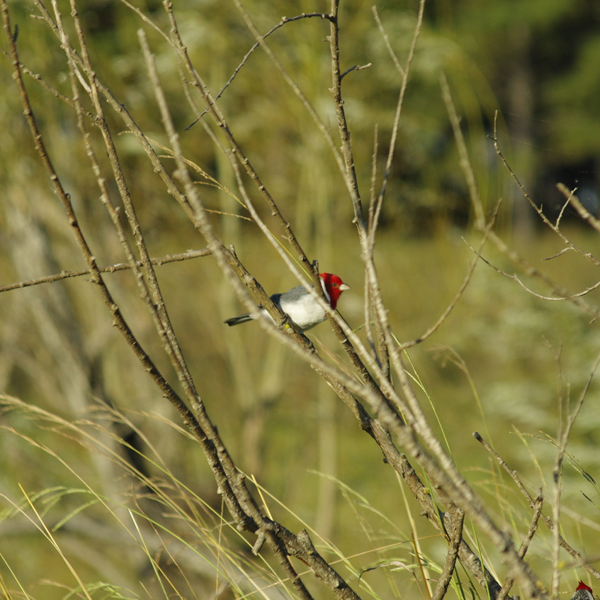 _IMG9655 Red-crested Cardinal