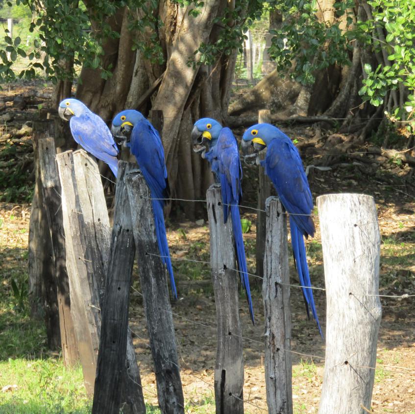 IMG_3975Hyacinth Macaw