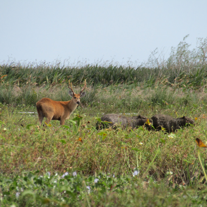 IMG_2730 Marsh Deer and Capybara