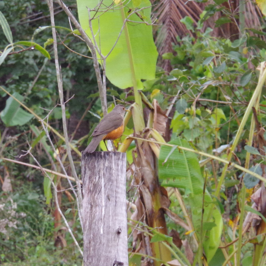 IMGP0307 Rufous-bellied Thrush