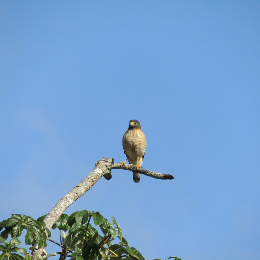 IMG_3830 Roadside Hawk