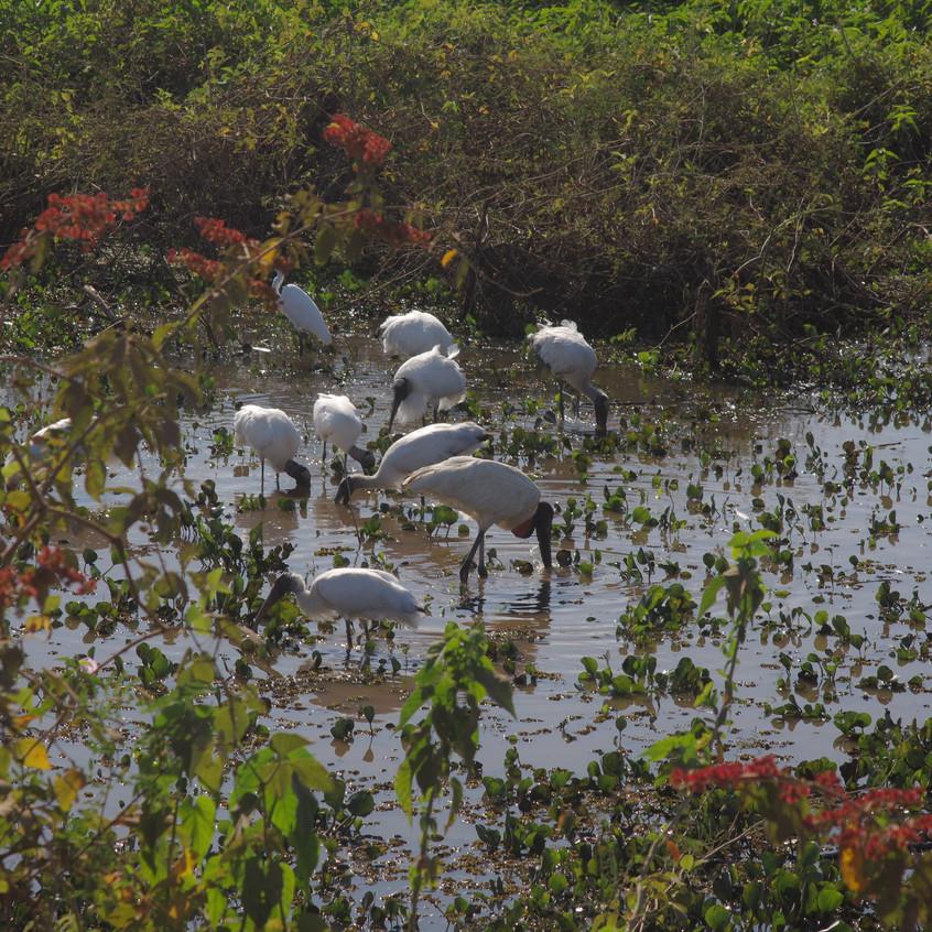 IMGP1725 Jabiru, 7 Wood Storks and a Gre