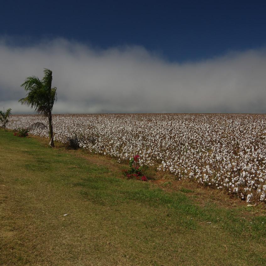 IMGP1950 Cotton fields