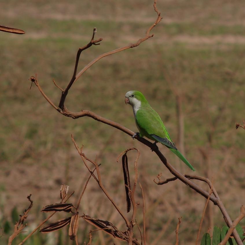 IMGP1810 Monk Parakeet