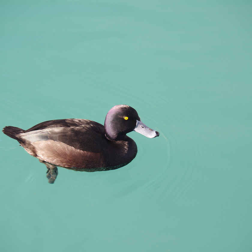 Scaup - diving duck