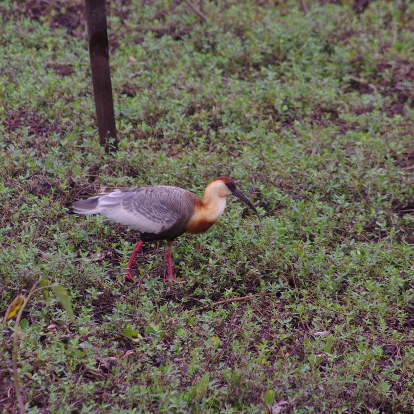 IMGP0565 Buff-necked Ibis