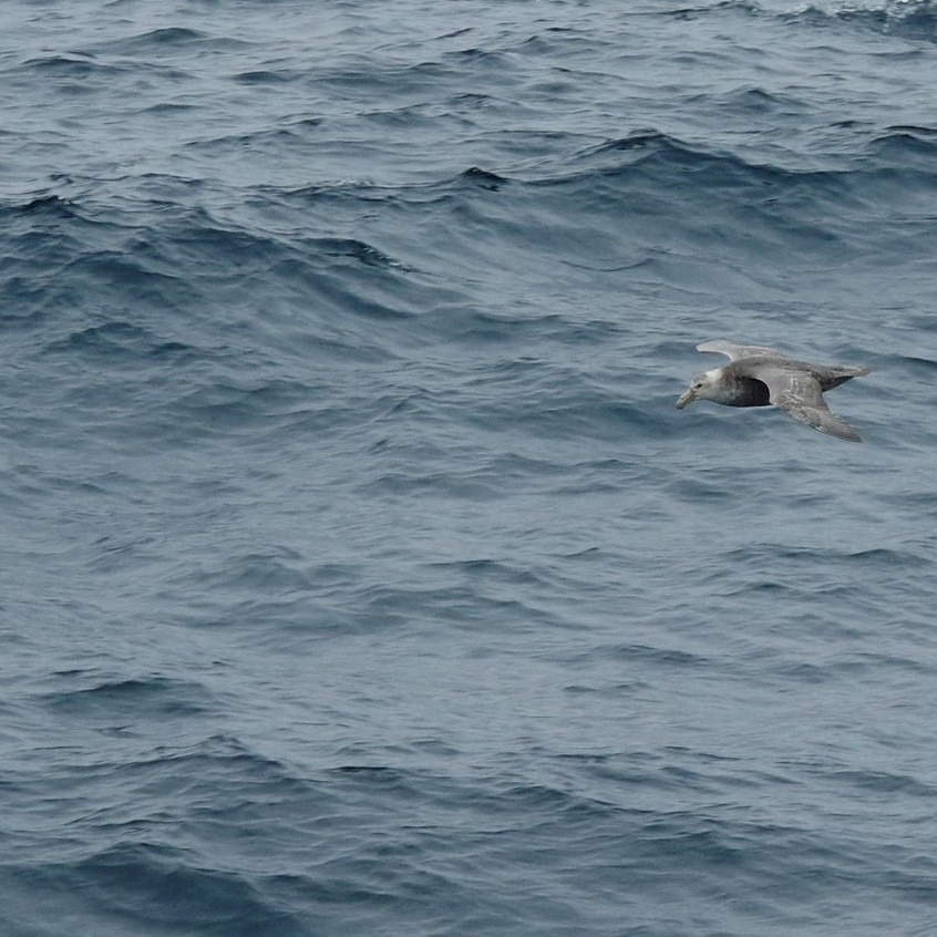 _IMG0322 (3) Southern giant petrel