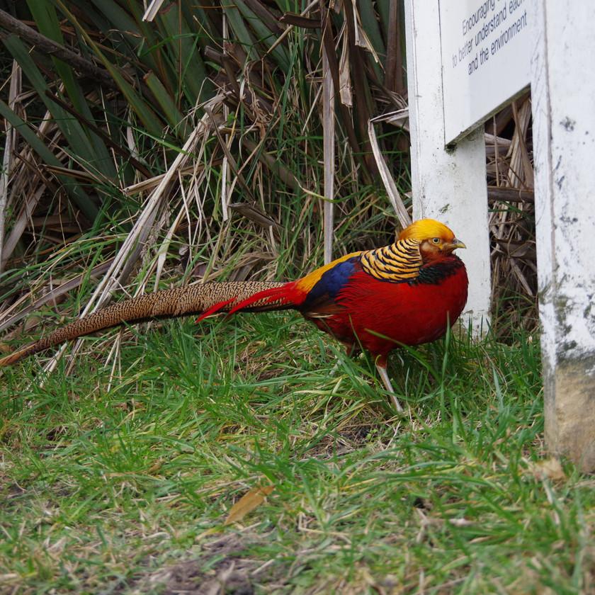 Golden Pheasant - escapee