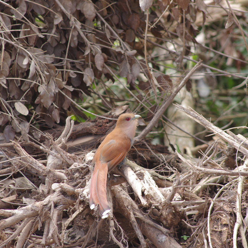 IMGP0846 Squirrel Cuckoo