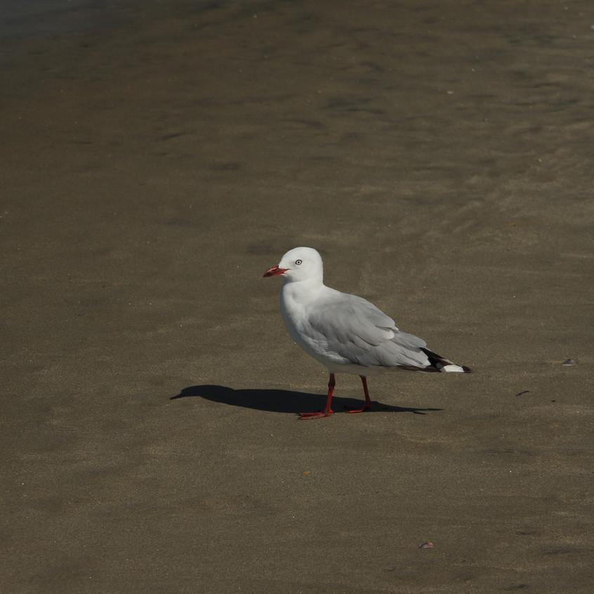 IMGP8002 Red-billed Gull (Tarapunga) (2)