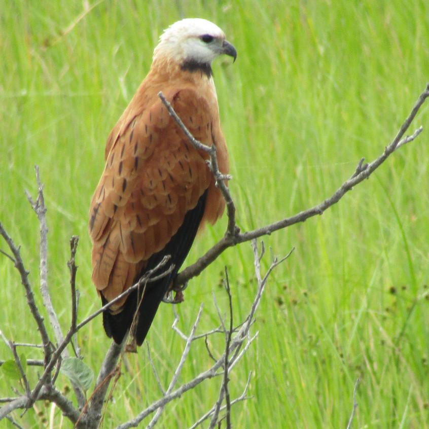 IMG_4032 Black-collared Hawk