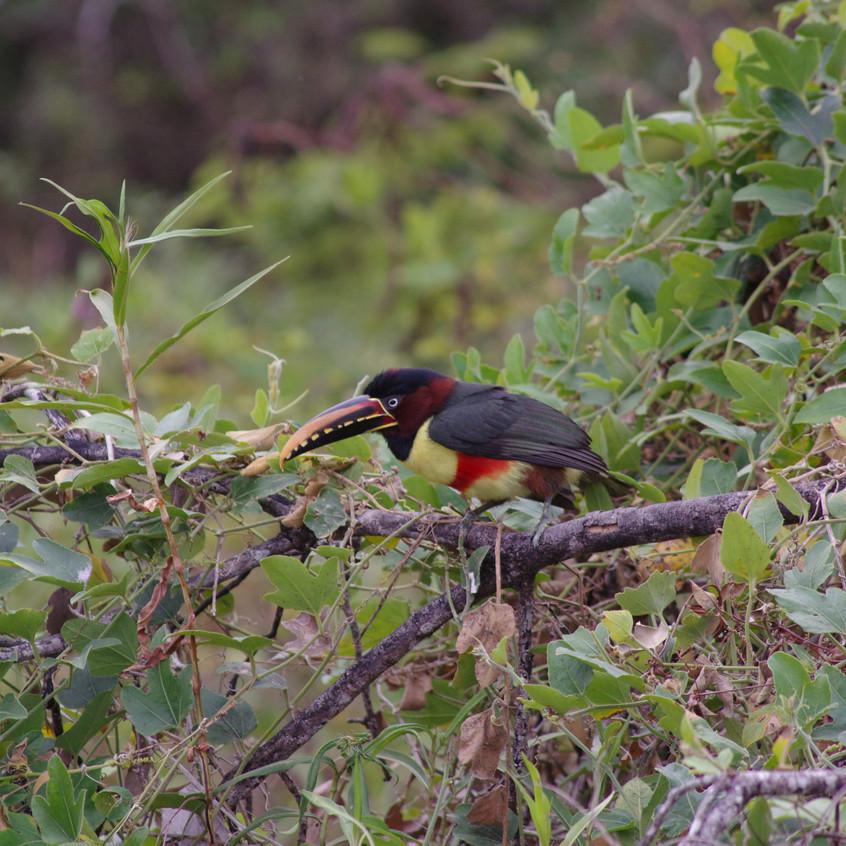 IMGP0546 Chestnut-eared Aracari