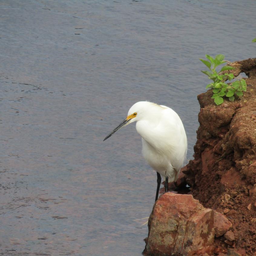 IMG_4031 Snowy Egret