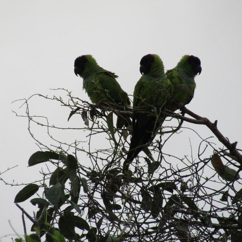 IMG_3866 Nanday Parakeet