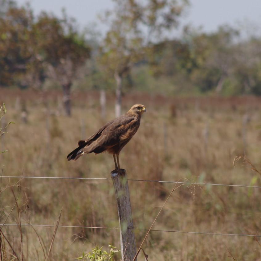 IMGP1904 Savanna Hawk