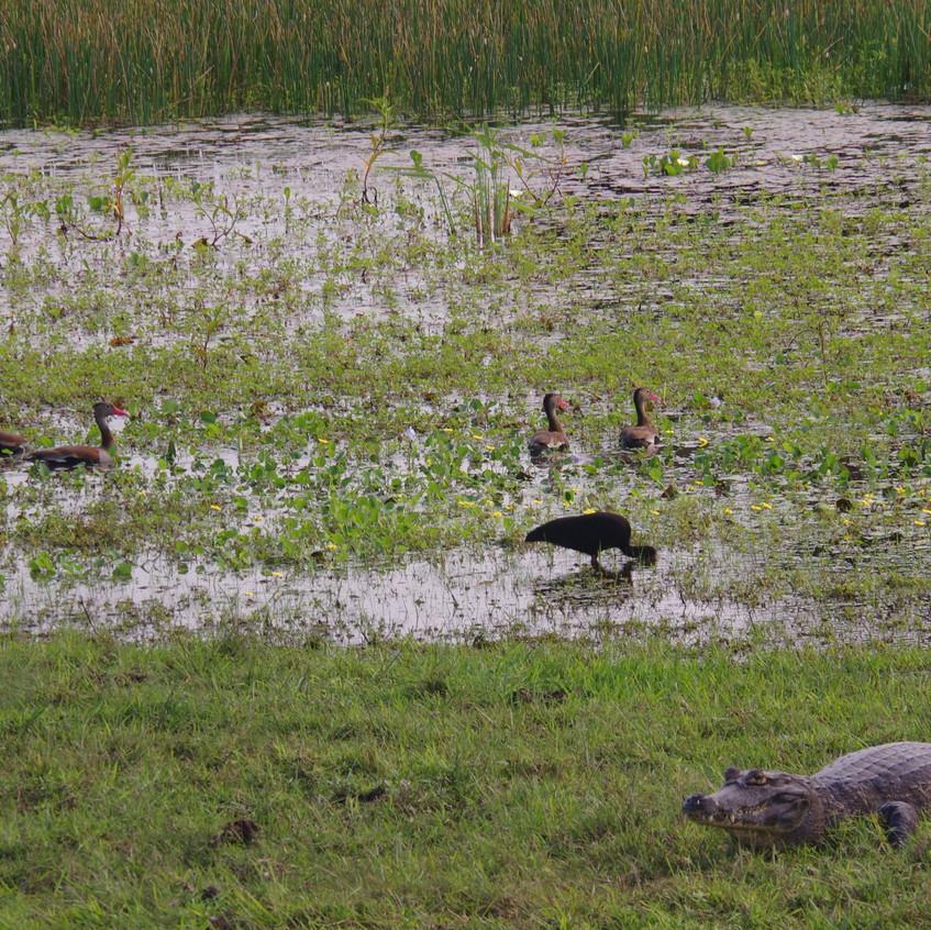 IMGP0780 Black-bellied Whistling Ducks