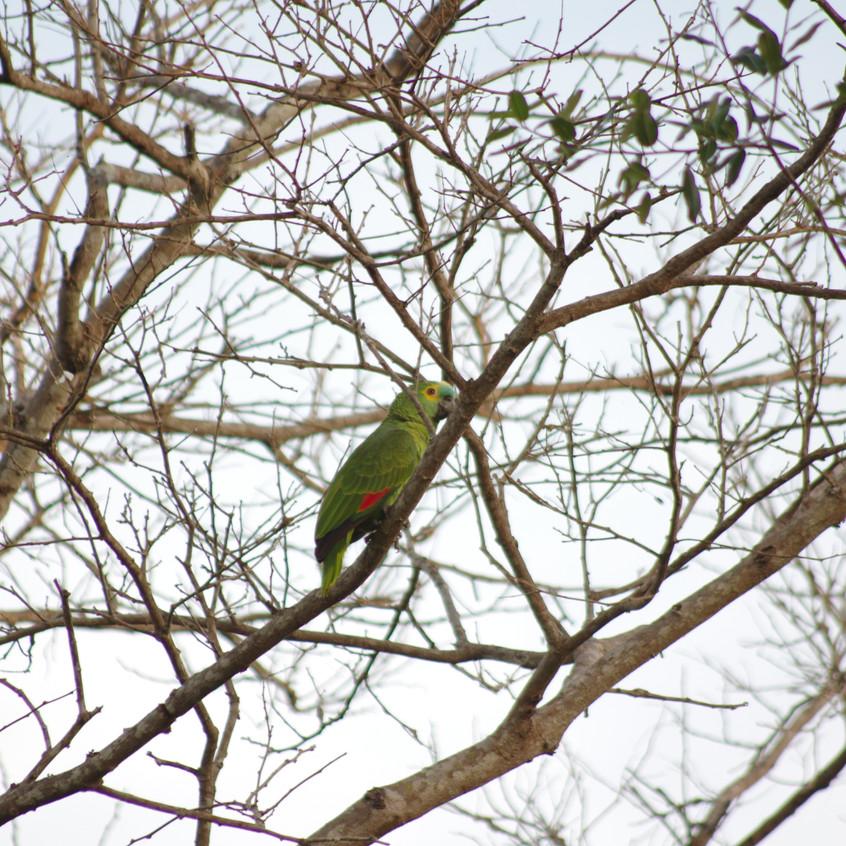 IMGP1326 Turquoise-fronted Amazon