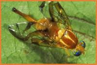 MF-Anastrepha oblicua.jpg