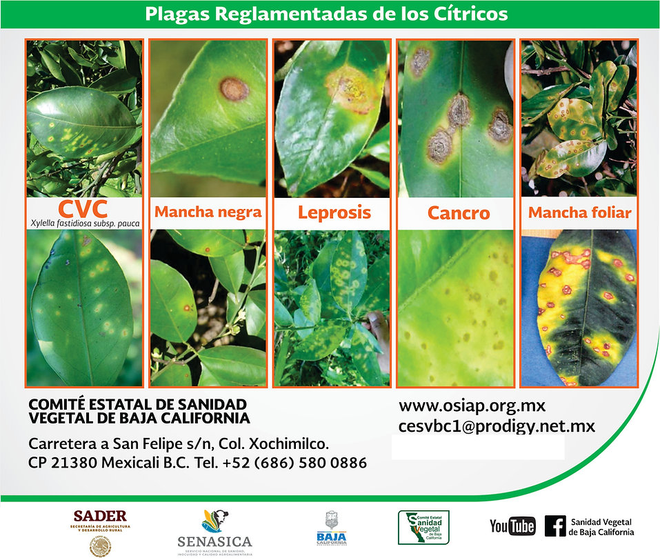 CITRICOS-Infografia PRC 2.jpg