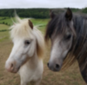 Rescued ponies George and Feather
