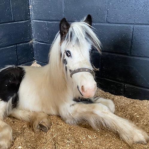 Sponsor a pony - Tiny Tim