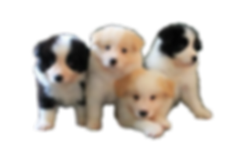 Sporting Field available puppies for sale