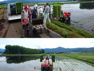 国産米の田植えが始まりました。