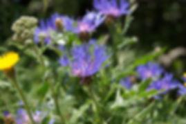 purple-flowers-3421695_1280.jpg