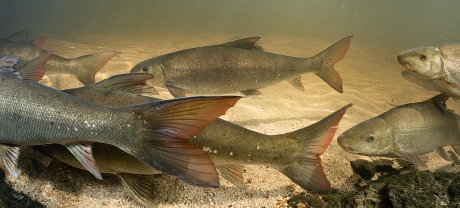 lowres-sandfish-migrating-jeremy-shelton