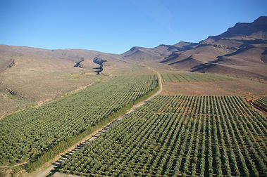Olive Trees_Mount Ceder_Western Cape_Ced